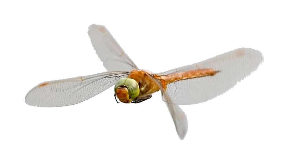Norfolk Hawaker Dragonfly